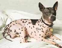 Американский голый терьер American Hairless Terrier 39-02